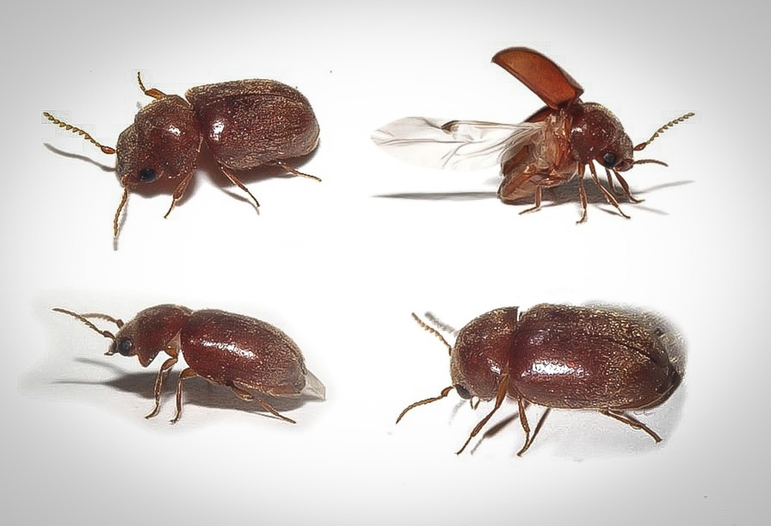 Cigar-Beetles.jpg