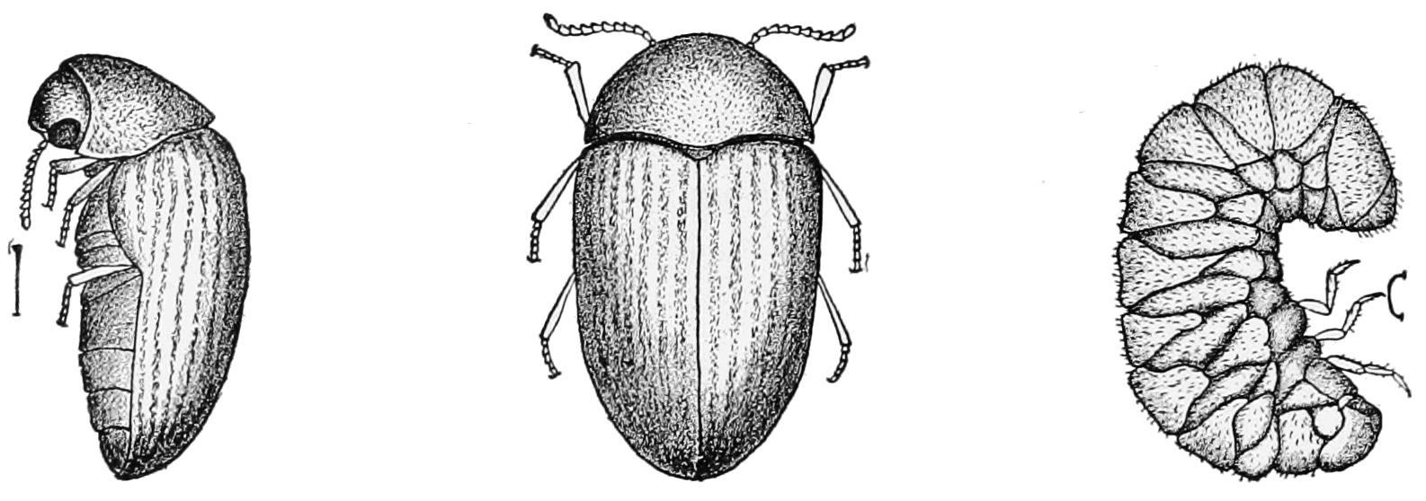 tobacco-beetle.png