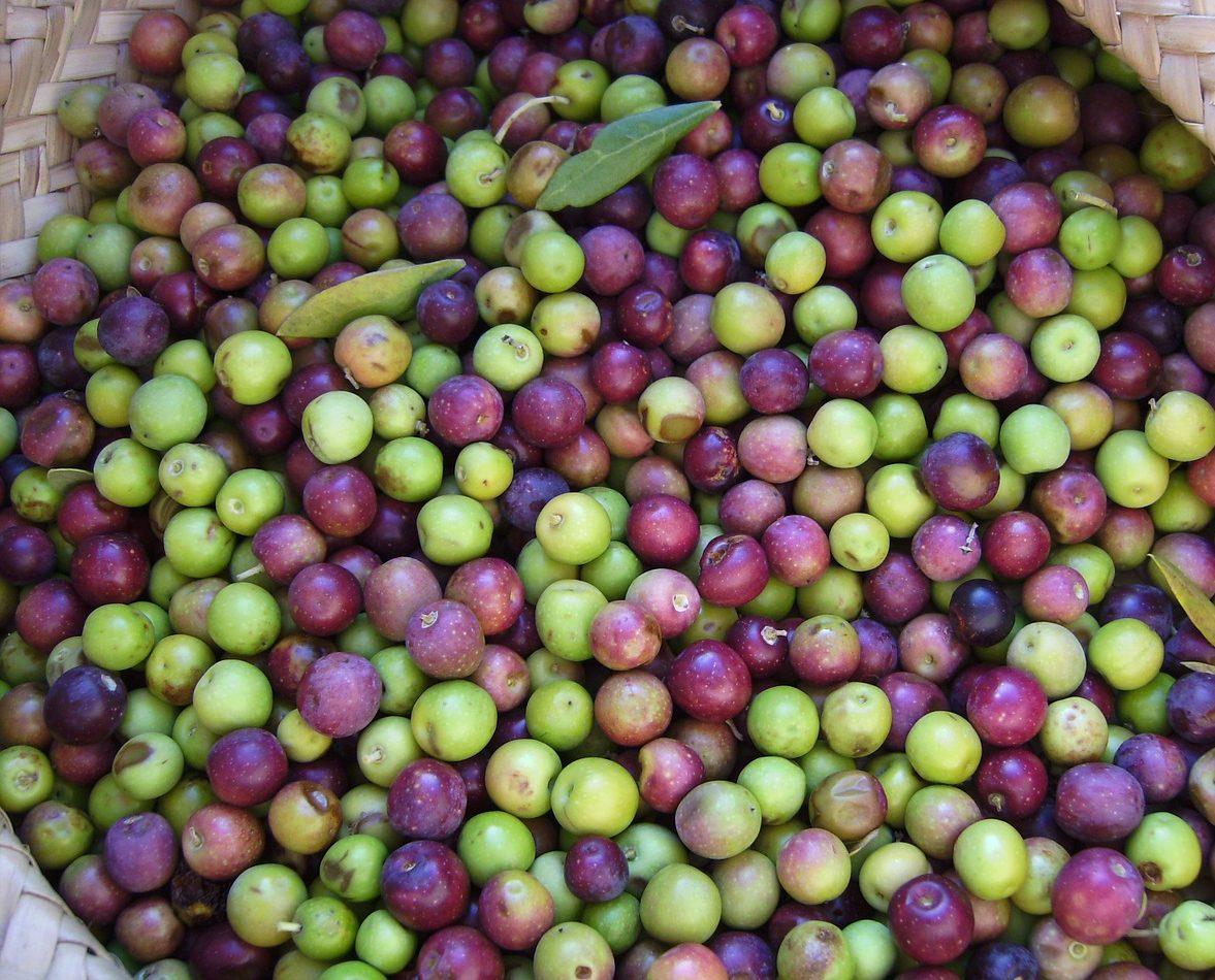 Colores de la aceituna